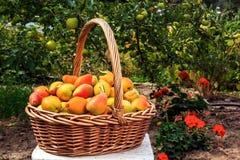 Peras orgánicas sanas en una cesta Fotos de archivo libres de regalías