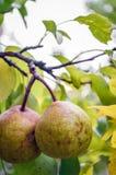 Peras orgânicas Imagens de Stock Royalty Free