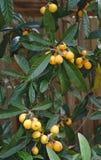 Peras orgânicas amarelas na árvore foto de stock royalty free
