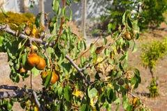 Peras orgânicas maduras do cultivar foto de stock royalty free