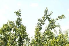 Peras verdes Foto de archivo libre de regalías