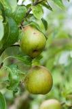 Peras verdes em uma árvore Imagens de Stock Royalty Free