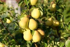peras verdes en una rama con el sol del verano de las hojas, vegetarianismo, vegano, comida cruda, comida ecológica foto de archivo libre de regalías
