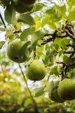 Peras verdes maduras Imágenes de archivo libres de regalías