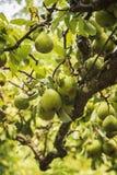Peras verdes maduras del jardín Imágenes de archivo libres de regalías