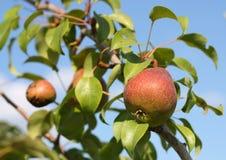 Peras vermelhas na filial no jardim. Imagem de Stock