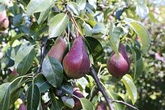 Peras vermelhas suculentas em ramos Foto de Stock Royalty Free