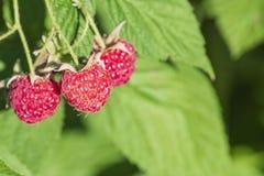 Perca-acima da framboesa madura no jardim do fruto, framboesa madura Framboesa vermelha com a folha no fundo verde fotos de stock