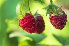 Perca-acima da framboesa madura no jardim do fruto, framboesa madura Framboesa vermelha com a folha no fundo verde foto de stock royalty free