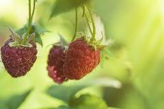 Perca-acima da framboesa madura no jardim do fruto, framboesa madura Framboesa vermelha com a folha no fundo verde fotos de stock royalty free