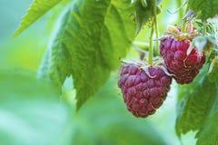Perca-acima da framboesa madura no jardim do fruto, framboesa madura Framboesa vermelha com a folha no fundo verde imagens de stock