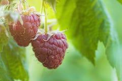 Perca-acima da framboesa madura no jardim do fruto, framboesa madura Framboesa vermelha com a folha no fundo verde foto de stock