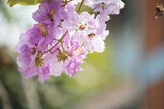 Perca-acima o orgulho do speciosa do Lagerstroemia das flores de india imagem de stock