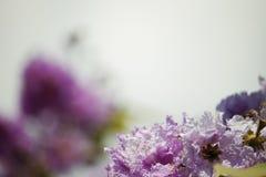 Perca-acima o orgulho do speciosa do Lagerstroemia das flores de india imagens de stock royalty free