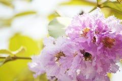 Perca-acima o orgulho do speciosa do Lagerstroemia das flores de india fotos de stock