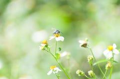 Perca de la abeja encendido Imagenes de archivo