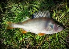 Perca de los pescados del río Chagan Foto de archivo