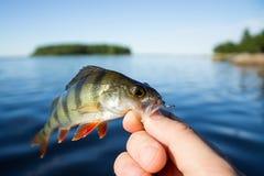 perca de los pescados en la mano del pescador Fotos de archivo libres de regalías