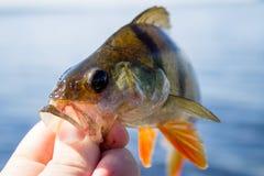 perca de los pescados en la mano del pescador Fotografía de archivo libre de regalías