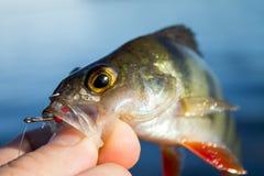 perca de los pescados en la mano del pescador Imagen de archivo libre de regalías