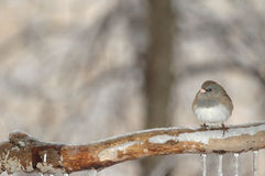 Perca del invierno imagen de archivo