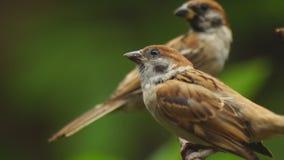 Perca del montanus de dos Philippine Maya Bird Eurasian Tree Sparrow o del transeúnte en las ramitas que buscan la comida metrajes