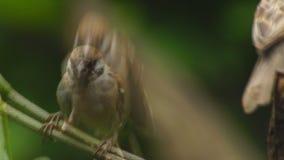 Perca del montanus de dos Philippine Maya Bird Eurasian Tree Sparrow o del transeúnte en las ramitas que buscan la comida almacen de video