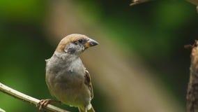 Perca del montanus de dos Philippine Maya Bird Eurasian Tree Sparrow o del transeúnte en las ramitas que buscan la comida almacen de metraje de vídeo