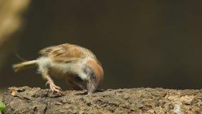 Perca del montanus de dos Philippine Maya Bird Eurasian Tree Sparrow o del transeúnte en rama de árbol que pelea metrajes