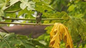 Perca del montanus de Philippine Maya Bird Eurasian Tree Sparrow o del transeúnte en árbol de papaya almacen de metraje de vídeo