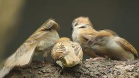 Perca del montanus de Philippine Maya Bird Eurasian Tree Sparrow o del transeúnte en el compañero de la alimentación de la boca d metrajes