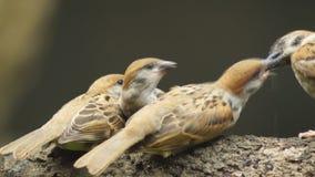 Perca del montanus de Philippine Maya Bird Eurasian Tree Sparrow o del transeúnte en el compañero de la alimentación de la boca d almacen de video