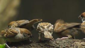 Perca del montanus de Philippine Maya Bird Eurasian Tree Sparrow o del transeúnte en el compañero de la alimentación de la boca d almacen de metraje de vídeo