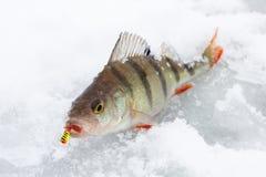 Perca en el hielo Fotografía de archivo libre de regalías