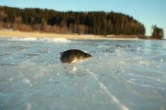 Perca en el hielo Fotos de archivo libres de regalías