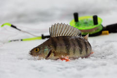 Perca en el hielo Foto de archivo