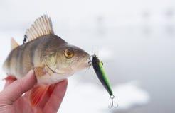 Perca en la mano del pescador Foto de archivo libre de regalías
