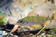 Percafluviatilis, Europese toppositie, zoetwater roofdiervissen in biotoopaquarium, aardfoto royalty-vrije stock foto