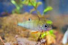 Percafluviatilis, Europese toppositie, zoetwater roofdiervissen staart bij camera in biotoopaquarium royalty-vrije stock foto's