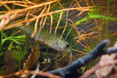 Percafluviatilis, Europese toppositie, zoetwater roofdiervissenhuiden onder wortels van wilg in biotoopaquarium stock foto