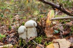 Percandidum de Leccinum de deux le beau petit champignons, connu sous le nom de bolete orange de bouleau, se développe dans une  image libre de droits