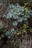 Percarneum d'Aeonium Photo stock