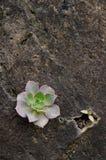 Percarneum d'Aeonium Photographie stock libre de droits