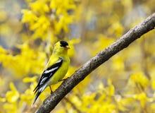 Percas de un pájaro del amarillo en medio de las flores amarillas fotografía de archivo libre de regalías