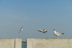Percas del pájaro en el carril del puente Foto de archivo libre de regalías