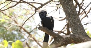 Percas plateadas-cheeked del hornbill en árbol