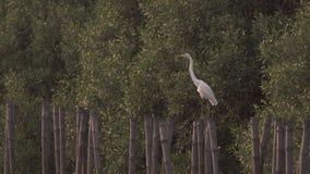 Percas tranquilas del pájaro en el tocón de bambú almacen de metraje de vídeo