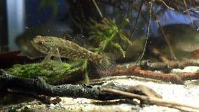 Perccottus glenii,中国睡眠者,在坦克底部的淡水食肉动物的游泳在自然群落生境水族馆,录影 股票录像