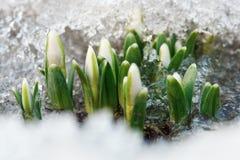 Perce-neige Photo stock