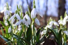 Perce-neige Photo libre de droits
